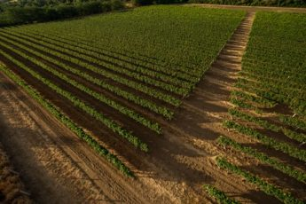 Vinmark fra Calabrien