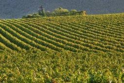Vinene fra Lombardiet
